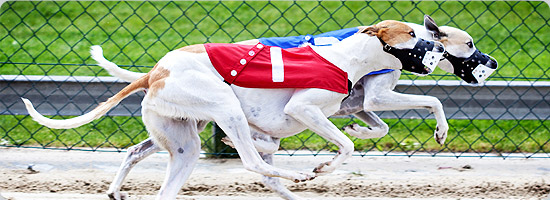 UK Greyhounds